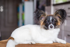 Junior papillon dog Stock Photography