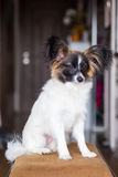 Junior papillon dog. A portrait of a pedigree junior white and sable continental toy spaniel papillon dog Royalty Free Stock Photos