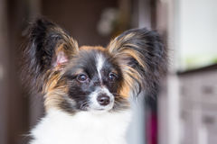 Junior papillon dog Royalty Free Stock Images