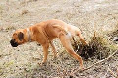 Junior puppy bullmastiff Royalty Free Stock Image