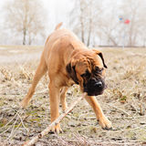 Junior puppy bullmastiff Royalty Free Stock Photography