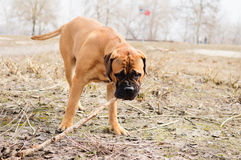 Junior puppy bullmastiff Royalty Free Stock Images