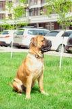 Junior puppy bullmastiff stock images