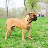 Junior puppy bullmastiff Stock Photo