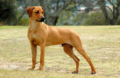 Junior Rhodesian Ridgeback. A beautiful African junior male Rhodesian Ridgeback hound dog standing on a meadow and looking back stock image
