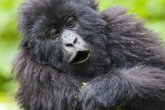 Junior Silverback Portrait Royalty Free Stock Photography