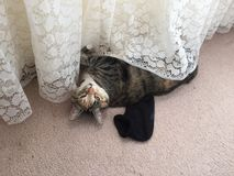 Junior Tabby Cat Girl fresco Imagen de archivo libre de regalías
