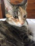 Junior Tabby Tortie Cat Resting royalty-vrije stock fotografie