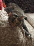 Junior Tabby Tortie Cat Resting stock afbeelding