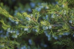 juniper foto de stock