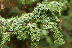 Juniper. Tree with berries at the end of summer Royalty Free Stock Photography