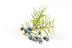 Juniper Royalty Free Stock Image