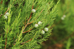 Juniper Stock Images