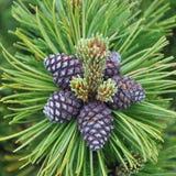 Pinus tree Stock Photos
