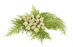 Juniper Stock Image
