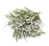 Juniper Stock Photography