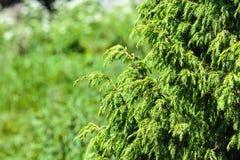 juniper foto de stock royalty free