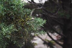 juniper fotografia de stock