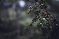 juniper fotos de stock