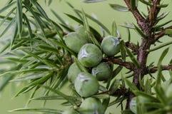 juniper imagem de stock