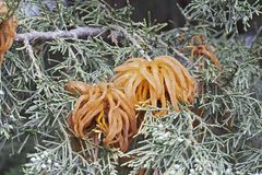 Juniper-apple rust fungus. Stock Photography
