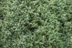 Juniper background. Detail of a juniper plant Royalty Free Stock Images