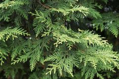 Juniper background. Juniper branches background close up Stock Photography