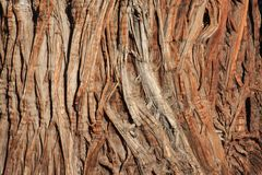 Juniper Bark Royalty Free Stock Photo