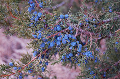 Juniper Berries. Juniper branch ripe with berries royalty free stock photo