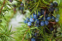 Free Juniper Berries Royalty Free Stock Photography - 46127057