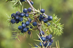 Juniper berries. Close up of branch with its juniper berries Stock Photos