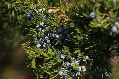 Juniper berries on the branch Royalty Free Stock Images