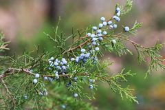 Juniper Berries on Branch. Close-up of blue juniper berries on the branch of a juniper tree, sometimes referred to as a cedar tree, on a blurred green background royalty free stock images