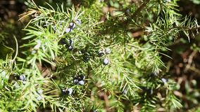 Juniper berries. Branch of  juniper tree with green leaves and black cones ,it's a sunny and windy day stock video