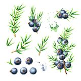 Juniper berries and branches set. Watercolor hand drawn illustration, isolated on white background.  royalty free illustration