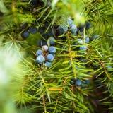 Juniper berries royalty free stock photography