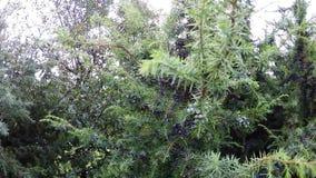 Juniper berries at a  bush stock video footage
