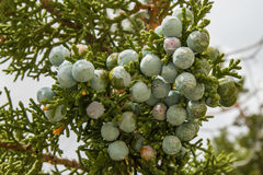 Juniper Berries. Close View Of Juniper Tree Leaves and Berry-Like Seed Cones, Great Basin Desert, Utah Royalty Free Stock Images
