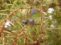 Juniper berries closeup Royalty Free Stock Image