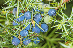 Juniper berries. A closeup of the bush with ripe berries Royalty Free Stock Photos