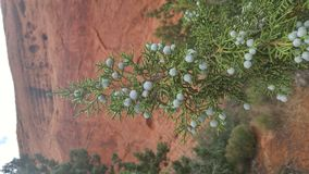 Juniper berries in desert Royalty Free Stock Image