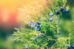 Juniper berries on plant. Juniper berries on green plant royalty free stock photography