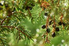 Juniper berries growing on the tree branch under the beautiful sunlight stock images