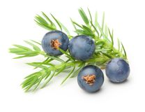 Juniper berries isolated Royalty Free Stock Image