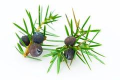 Juniper berries (juniperus communis). Stock Images