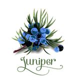 Juniper berries for lables. Posers, postcards and others Stock Images