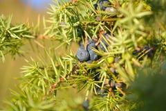 Juniper berries Royalty Free Stock Photos