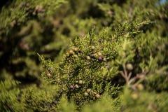 Juniper  berries Stock Photos