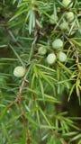 Juniper berries. A photo of a juniper berries Stock Image