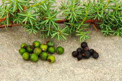 Juniper with berries. Juniper with ripe and unripe juniper berries. Green berries are unripe, black berries are ripe.Spices for venison casseroles Royalty Free Stock Photo